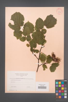 Corylus colurna [KOR 34119]