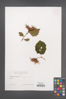 Corylus ×colurnoides [KOR 38089]