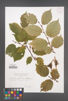 Corylus cornuta [KOR 42591a]