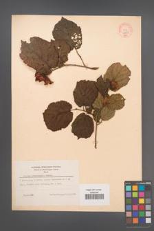 Corylus heterophylla [KOR 44131]