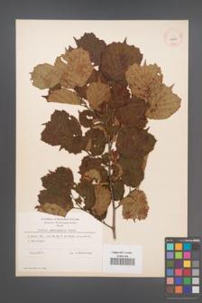 Corylus heterophylla [KOR 13004]