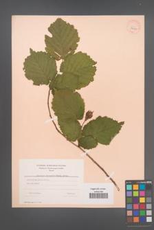Corylus jacquemontiana [KOR 34124]