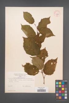Corylus mandshurica [KOR 44106]