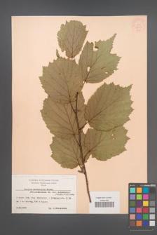 Corylus sieboldiana [KOR 13043]