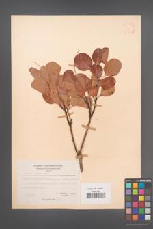 Cotinus coggygria [KOR 21577]