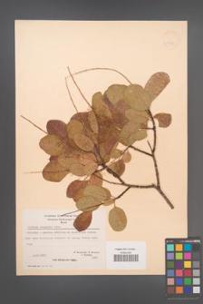 Cotinus coggygria [KOR 21575]