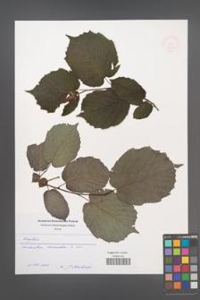 Corylus [KOR 49006]