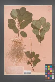 Cotinus coggygria [KOR 34137]