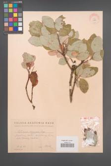 Cotinus coggygria [KOR 13070]