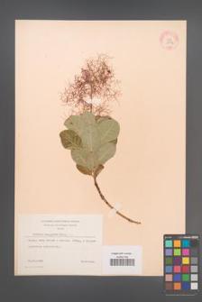 Cotinus coggygria [KOR 13072]