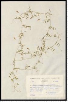Vicia tetrasperma (L.) Schreb.
