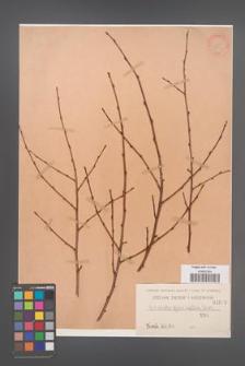 Cotoneaster affinis [KOR 1093]