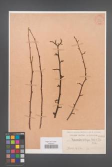 Cotoneaster ambigua [KOR 1092]