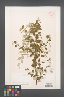 Cotoneaster amoenus [KOR 27676]