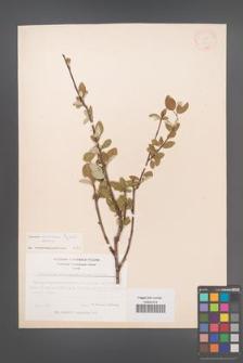 Cotoneaster armenus [KOR 13094]