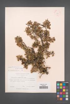 Cotoneaster browiczii [KOR 13127]