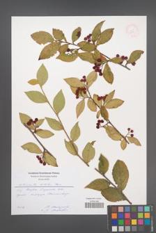 Cotoneaster bullatus [KOR 52448]