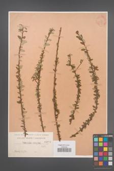 Cotoneaster conspicua [KOR 1082]