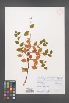 Cotoneaster dielsianus [KOR 46974]