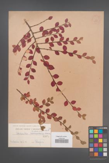Cotoneaster divaricata [KOR 1075]