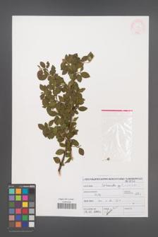 Cotoneaster divaricatus [KOR 46973]