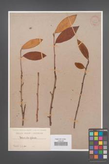 Cotoneaster glabrata [KOR 34147]