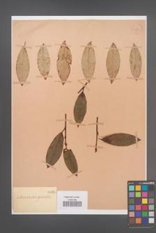 Cotoneaster glabrata [KOR 1068]