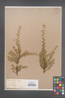 Cotoneaster horizontalis [KOR 34149]