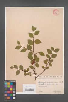 Cotoneaster integerrima [KOR 55010]