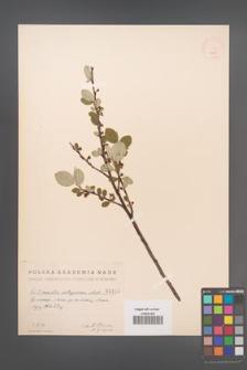 Cotoneaster integerrima [KOR 1415]