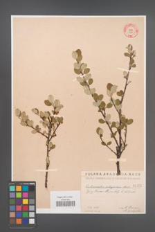 Cotoneaster integerrima [KOR 1432]
