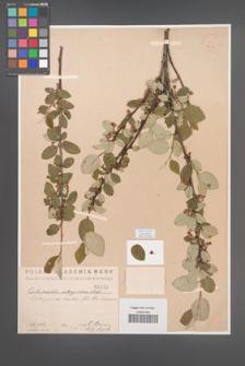 Cotoneaster integerrima [KOR 1412]