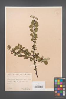 Cotoneaster integerrima [KOR 1444]