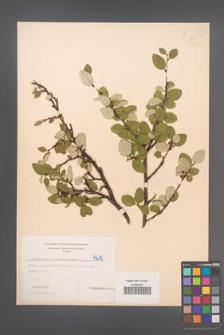 Cotoneaster integerrima [KOR 4219]