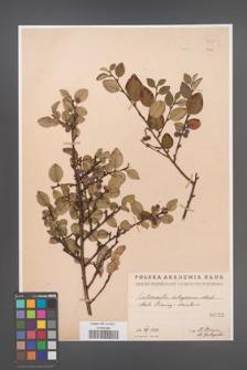 Cotoneaster integerrima [KOR 55024]