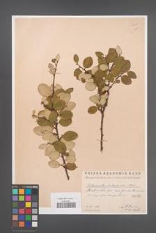 Cotoneaster integerrima [KOR 55043]