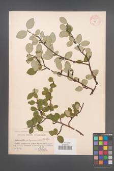 Cotoneaster integerrima [KOR 55050]
