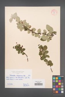 Cotoneaster integerrima [KOR 55051]