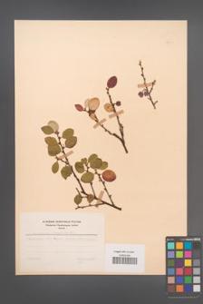 Cotoneaster integerrima [KOR 48641]