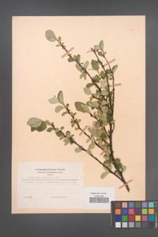 Cotoneaster integerrima [KOR 48644]