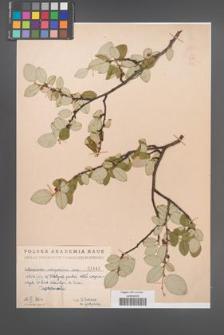 Cotoneaster integerrima [KOR 1445]