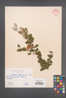 Cotoneaster integerrima [KOR 55056]