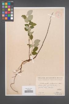 Cotoneaster integerrima [KOR 55067]
