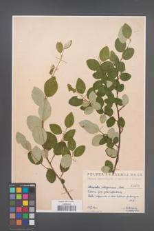 Cotoneaster integerrima [KOR 1403]