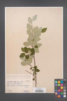 Cotoneaster integerrima [KOR 1404]