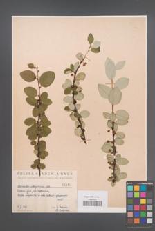 Cotoneaster integerrima [KOR 1406]