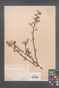 Cotoneaster integerrima [KOR 1424]