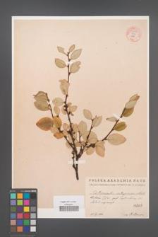 Cotoneaster integerrima [KOR 55076]