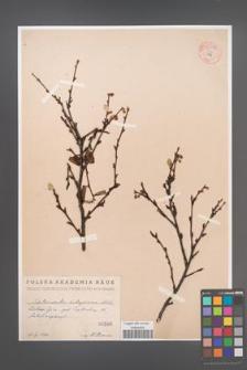 Cotoneaster integerrima [KOR 55078]