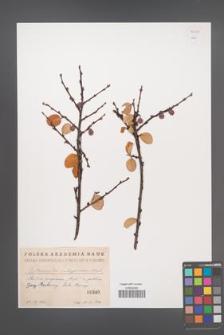 Cotoneaster integerrima [KOR 55079]